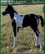 black/white foxtrotter filly