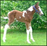 bay/white fox trotter filly